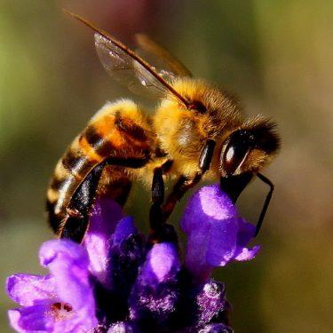Jardin pour pollinisateurs
