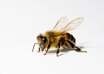 L'abeille, l'indispensable abeille