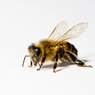 L'abeille, l'indispensable abeille